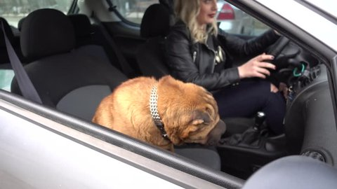 Woman drives a Car with her Dog Sharpei sitting at the front Seat