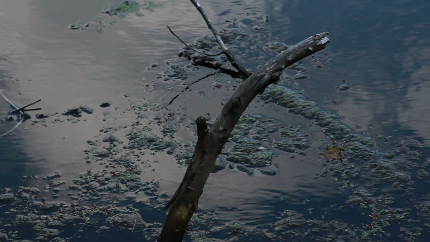 Pond algae floating by dead branch