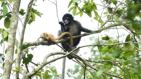The dusky leaf monkey, spectacled langur, or spectacled leaf monkey is a species of primate in the family Cercopithecidae.