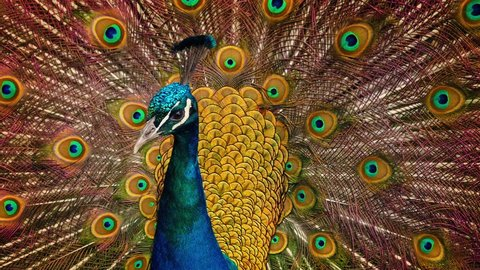 Peacock With Amazing Colorful Plumage
