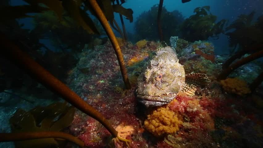Scorpionfish resting among kelp at Poor Knights Islands