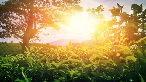 Bright warm sun shines in camera on tea plantation valley in rural Sri Lanka. Beautiful countryside nature with green tea leaves ripening under sunshine