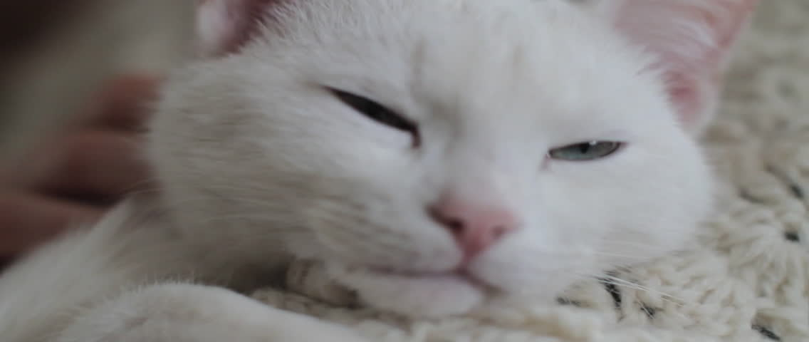 White cat getting a neck rub from a human, getting sleepy.