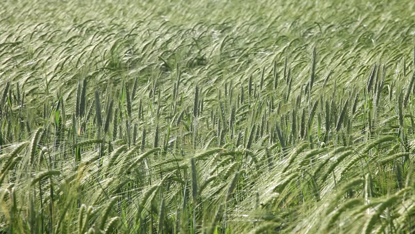 soft wheat background green barley field caressed by wind getting calm in the end