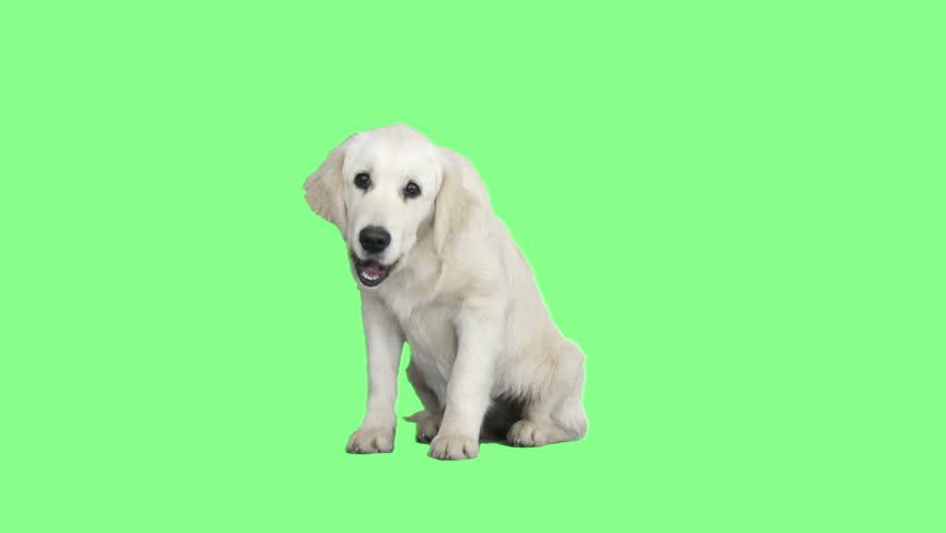 Funny Golden Retriever Barking On Stock Footage Video (100% Royalty-free)  24706745 | Shutterstock