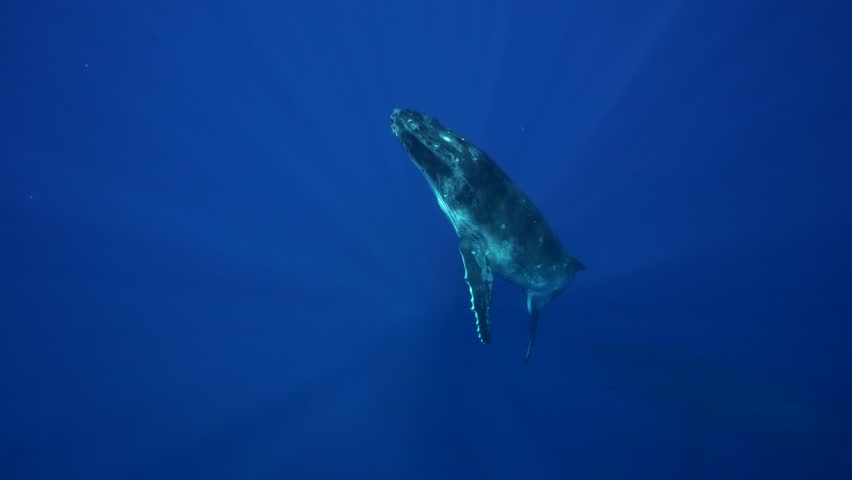 Humpback whales, mother and calf in clear blue water