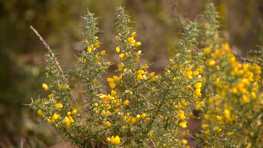 Common Gorse ' Ulex europaeus ' with green spiky leaves foliage and bright yellow flowers blowing gently in the wind.