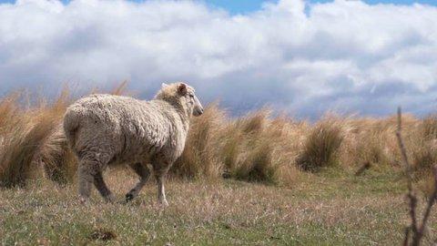 Sheep walking across farmland in New Zealand South Island
