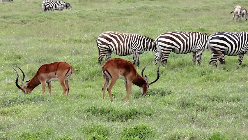Wild Impala (Aepyceros melampus) & Zebra (Equus quagga, formerly Equus burchelli) Graze & Feed Together for Protection in Lake Nakuru, Kenya. Communal grazing allows for a better lookout for predators