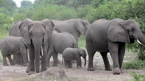 A WILD African Elephant Family (and Baby!) camouflages by throwing dirt on themselves with trunks in Queen Elizabeth National Park Uganda, Africa. This behavior may relate to scent & social cues.