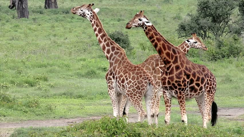 A WILD group of extremely ENDANGERED Rothschild Giraffe (Giraffa camelopardalis rothschildi) at Lake Nakuru, Kenya, Africa. There are only a few hundred of these giraffes left in the wild!
