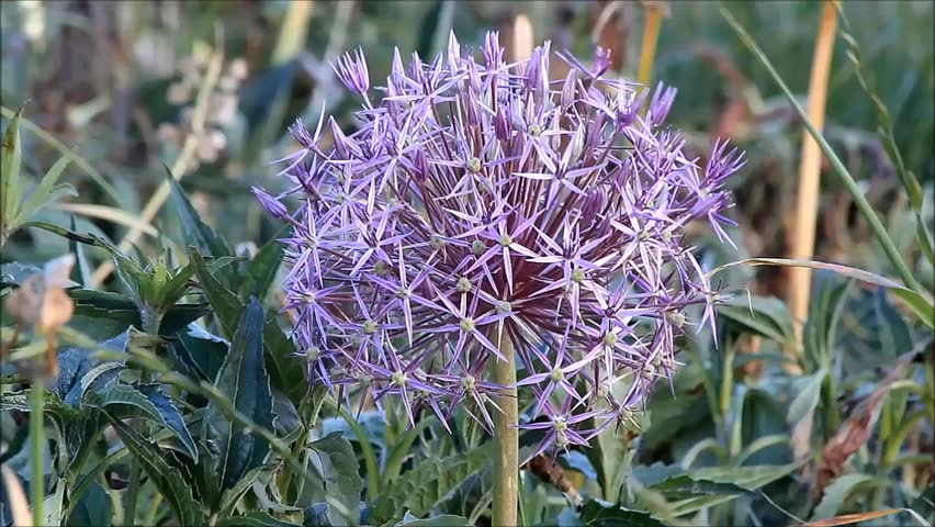 Header of Allium