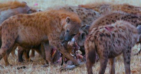 Spotted Hyenas With Kill; Maasai Mara Kenya Africa