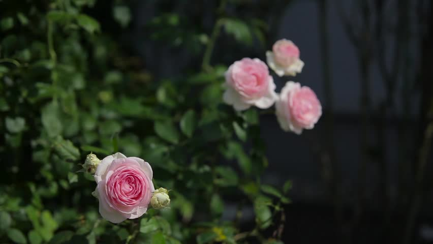 Climbing pink roses in garden | Shutterstock HD Video #24884558