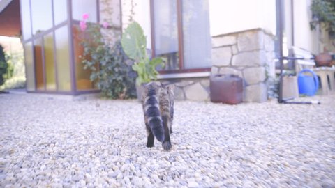 Following cat while walking around the house and hiding behind flower 4K. Camera on gimbal stabilizer tracking British cat in focus walking away from camera and trying to get inside house.