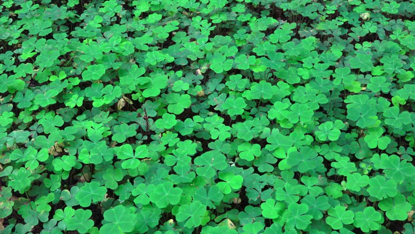 Wild growing shamrocks on the rich lush understory of a redwood forest in Northern California's redwood forest.