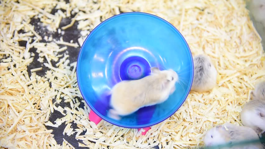 video of hamster running in circle track .