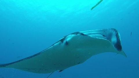 Manta Ray swimming on a cleaning station to get rid of parasites by cleaning wrasses.