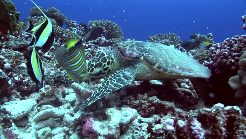 Hawksbill Turtle feeding on the reef with colorful fish around #25164245