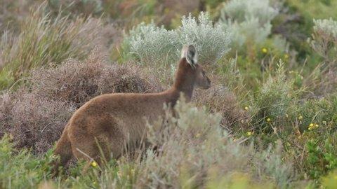 Kangaroo jumping away
