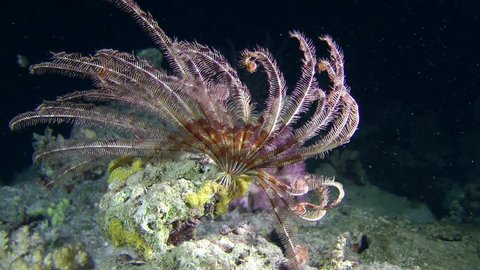 Sawtoothed Feather star (crinoid) folds its tentacles in the beam of light, medium shot.