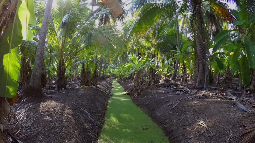 Плантации кокосов