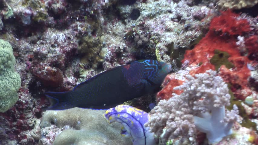 Male adult Geographic wrasse (Anampses geographicus) feeding underwater in Indonesia