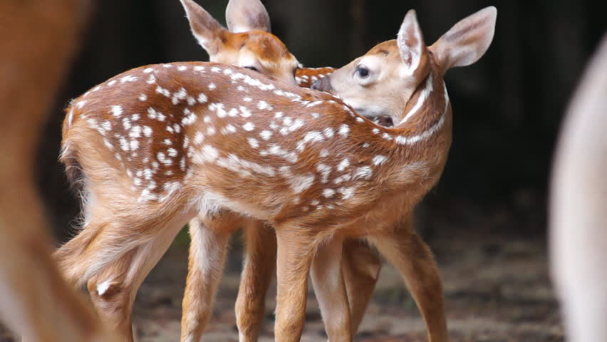 Whitetail Deer Fawns, Slow motion, 1/2 natural speed