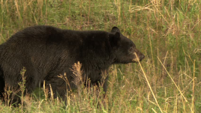 Black bear walking through meadow in Yellowstone