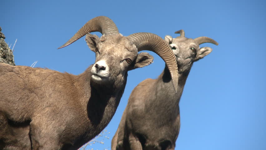 A bighorn sheep ram and ewe perched majestically with rich blue sky backdrop.
