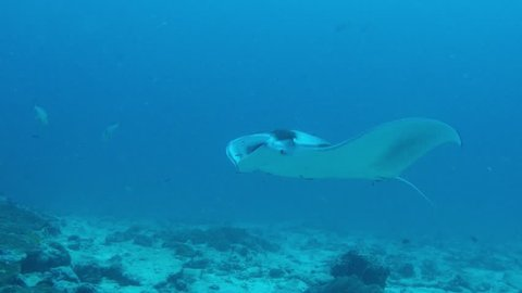 Manta Ray with open mouth to get rid of parasites by cleaning wrasses.