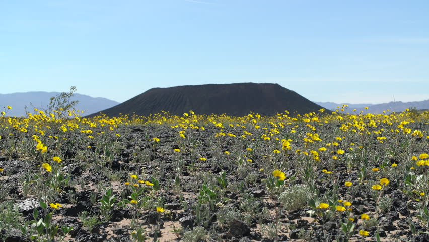 Wild Flowers and Amboy Crater - Amboy California