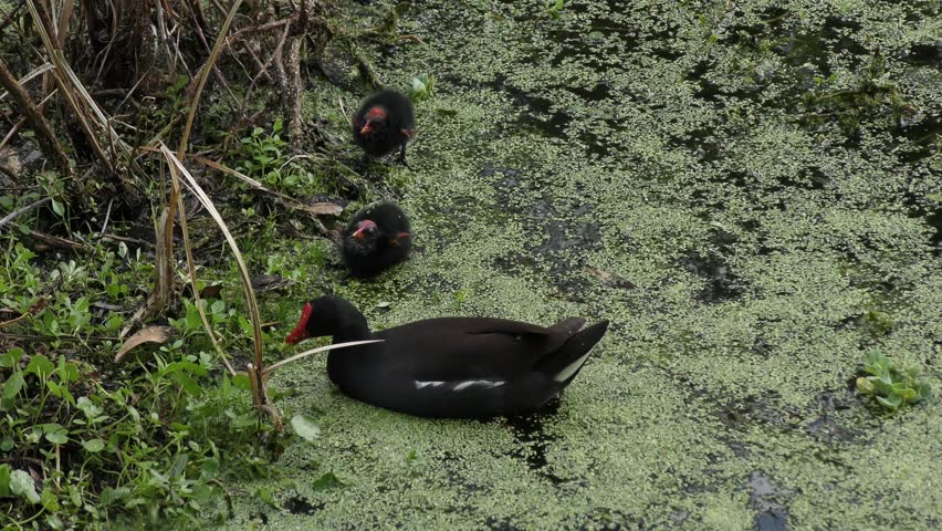 Common Gallinule feeds its chicks #25553075