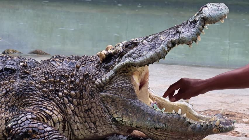 Man sticking his hand into the mouth of a crocodile and takes the money. Tamer performs risky show with a dangerous animal, Thailand. | Shutterstock HD Video #25582013