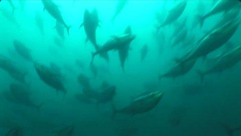 school of tuna fish underwater yelllow fin blue fin