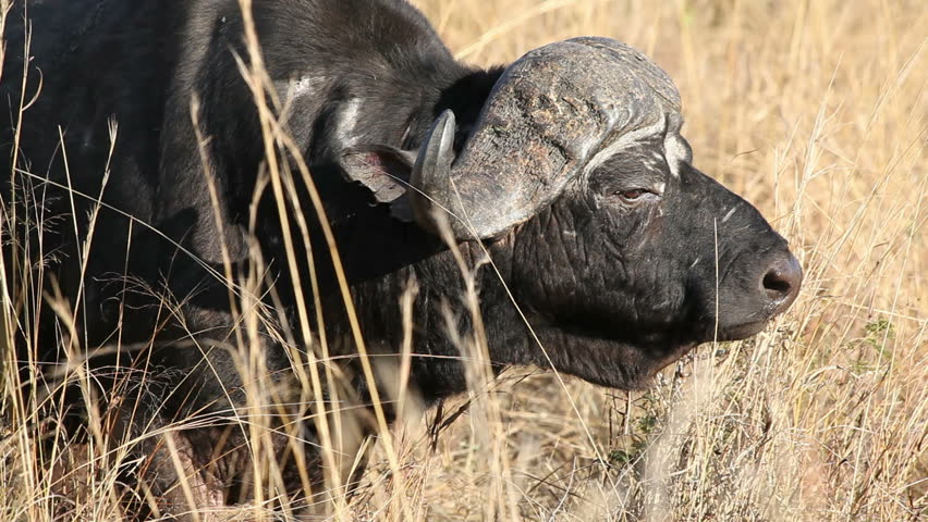 Portrait of an African or Cape buffalo bull (Syncerus caffer), South Africa
