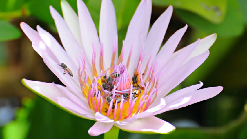 Bug eating pollen of lotus flower stock footage video 26463251 the masses of bees swarming lotus hd stock video clip mightylinksfo Choice Image