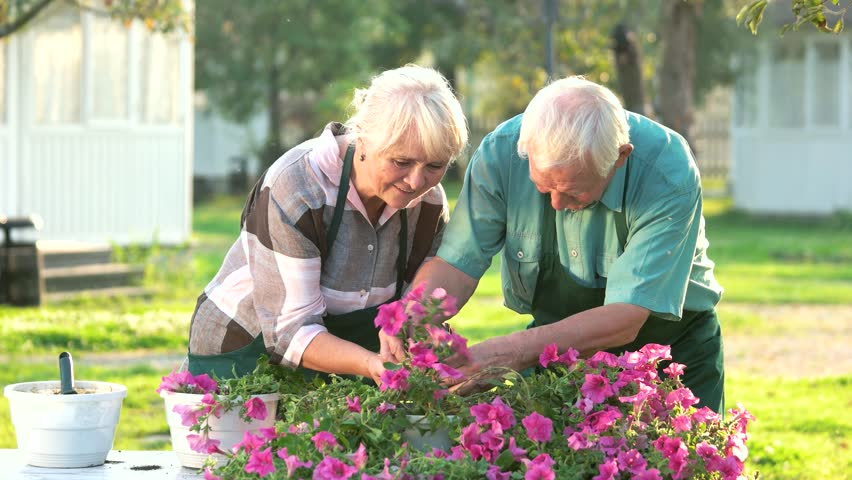 Couple of old gardeners. People transplanting flowers. Grow petunias from cuttings.