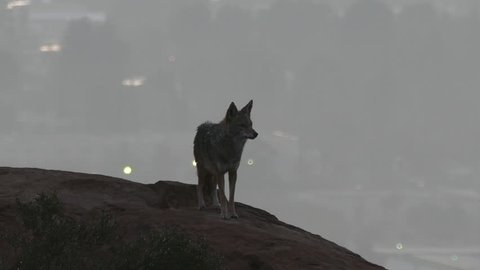 Wild coyote howling at Los Angeles before sunrise.
