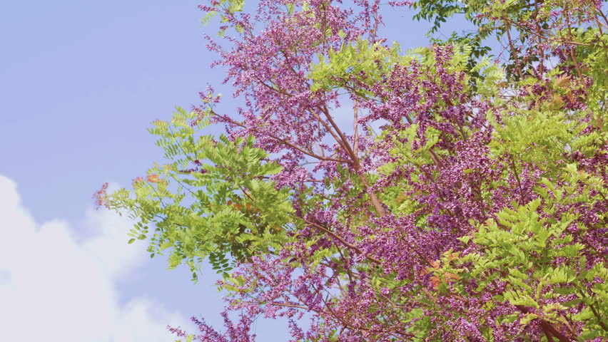 Stock Video Clip Of Jacaranda Tree Shutterstock