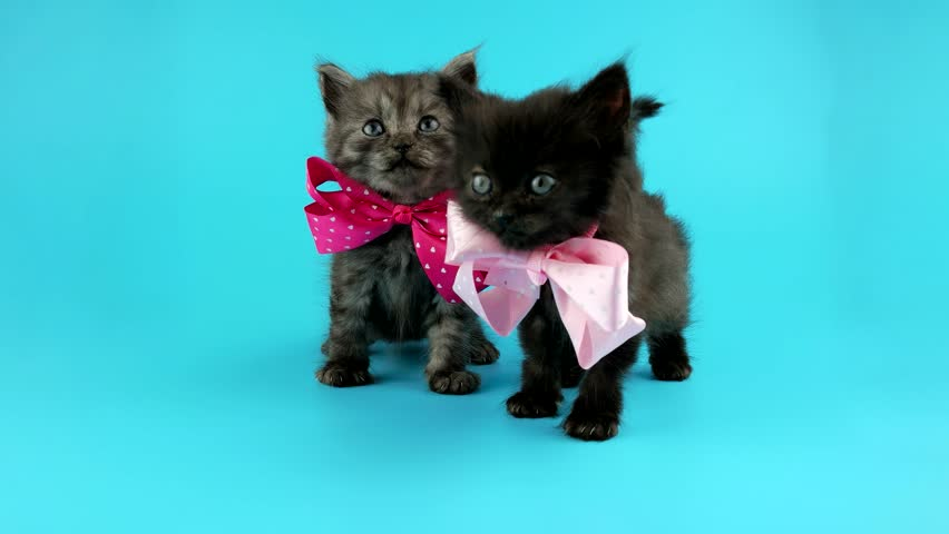 Two cute little kittens with bows, looking around, ready for chroma key | Shutterstock HD Video #25723265