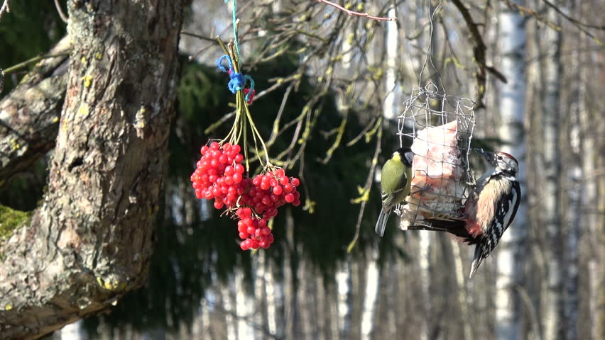 Woodpecker Dendrocopus medius and two big tits Parus major eating lard in winter, 4K