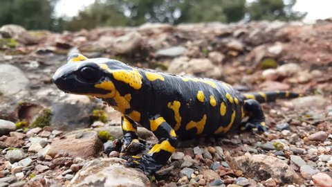 Close up from a pregnant European fire salamander in the sant llorenc? del munt natural park Spain