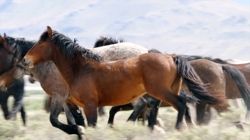 A beautiful slow motion shot of wild horses fighting and running in the West Desert in Utah | Shutterstock HD Video #25783544