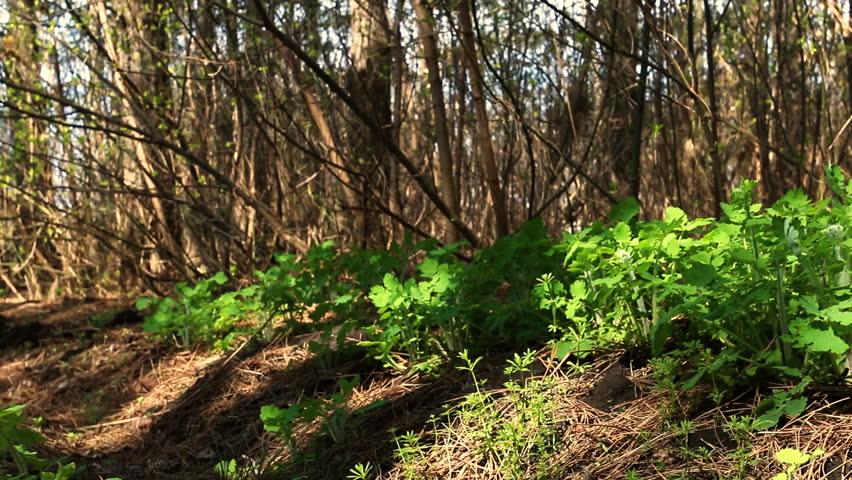 Lush green celandine in spring pine forest. Celandine is a medicinal herb.