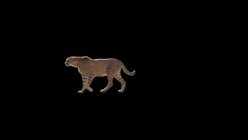 Cheetah slowly walking across the frame on black screen, real shot, isolated on alpha channel premultiplied with black and white luminance matte, perfect for digital composition, cinema, 3d mapping
