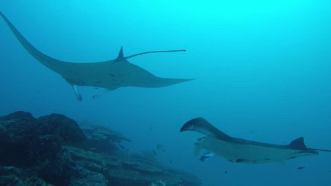 Two Manta Rays swimming on a cleaning station to get rid of parasites by cleaning wrasses.