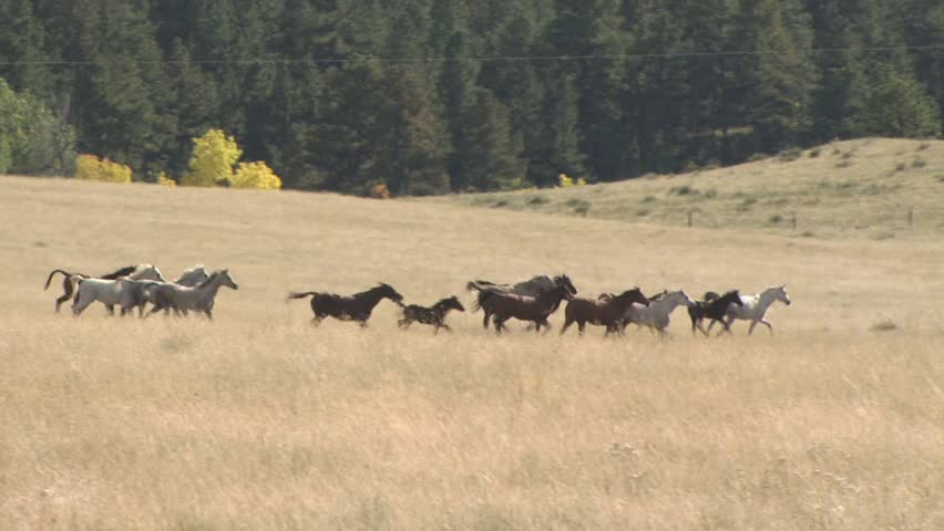 A Stampede of Horses Running Through An Open Field With a Dense Forrest of Trees In The Background