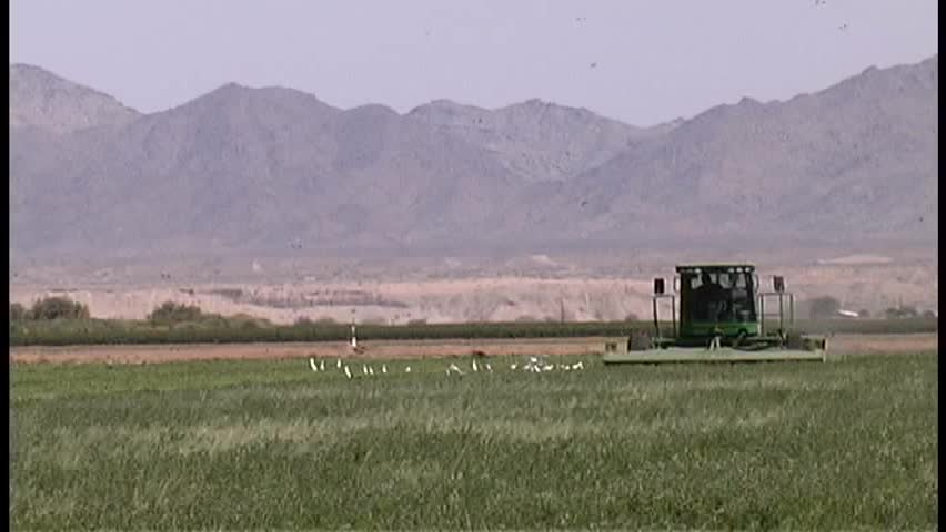A flock of egrets and a flock of sparrows crowd around a farmer mowing hay in a field in Arizona
