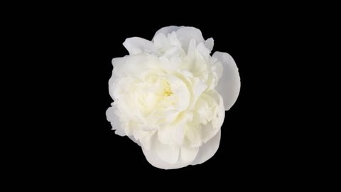 Time-lapse of dying white peony (Paeonia) flower 4x3 in RGB + ALPHA matte format isolated on black background, top view